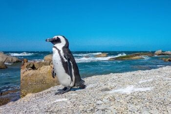 African penguin at Boulders Beach, Cape Town